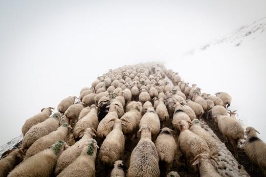 Aber die Herde wird immer weiter voran getrieben. Der Anblick von hunderten Schafrücken bekommt mit der Zeit etwas hypnotisches.
